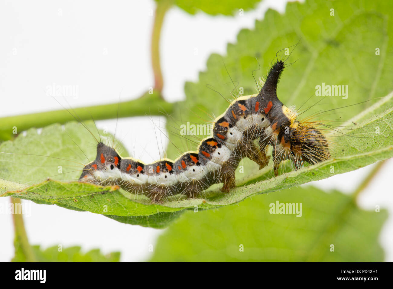 A Grey Dagger moth caterpillar, Acronicta psi, found feeding on bullace leaves photographed in a studio before release. North Dorset England UK GB Stock Photo
