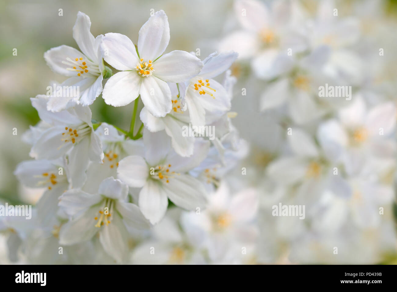 White jasmine flowers on a branch on a bright sunny day stock photo white jasmine flowers on a branch on a bright sunny day izmirmasajfo