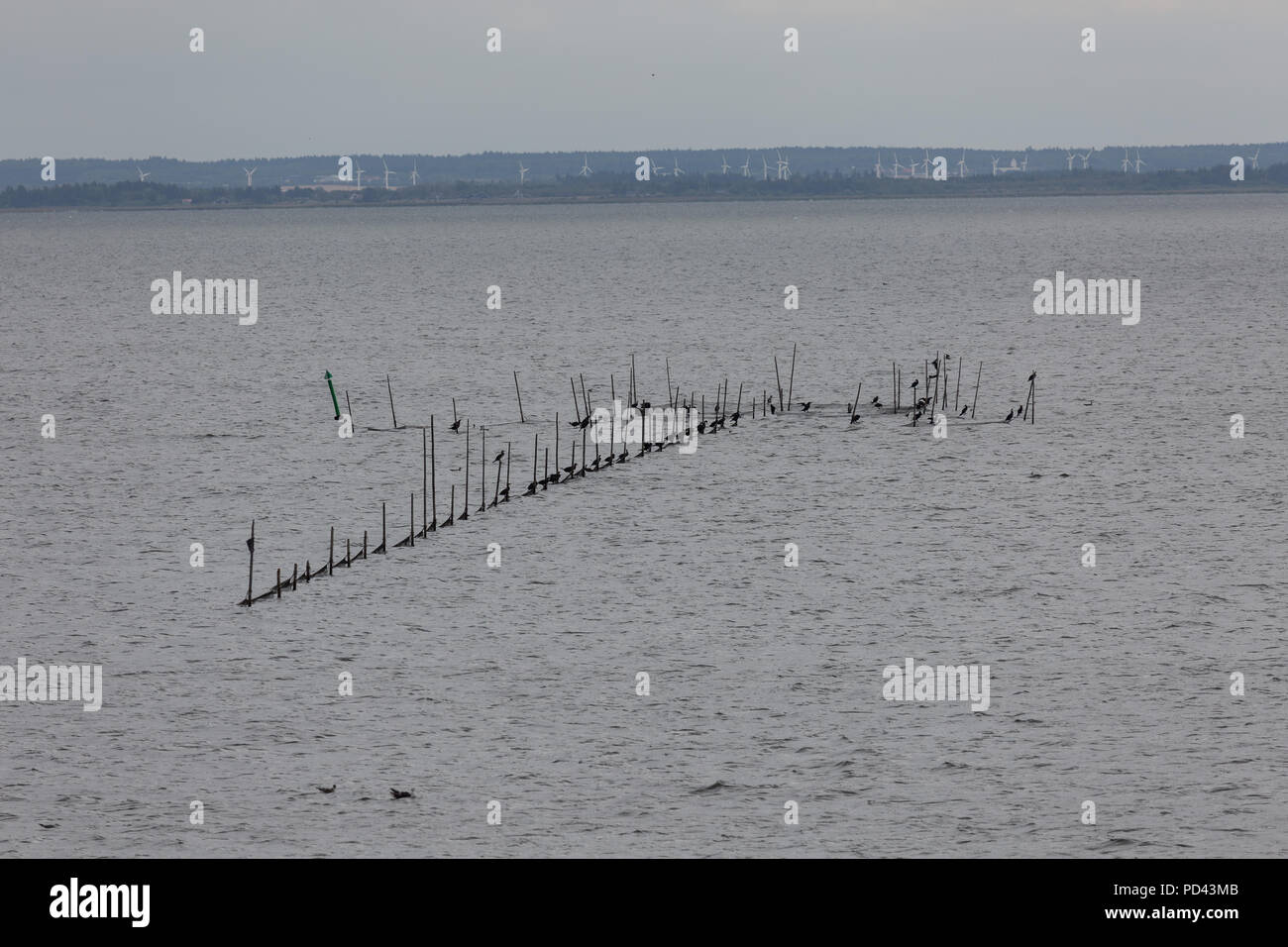 The Great Cormorants are sitting at the fishing nets in Ringkøbing Fjord, Denmark. Unpopular with the fishermen.Die Kormorane sitzen an den Fischernet - Stock Image