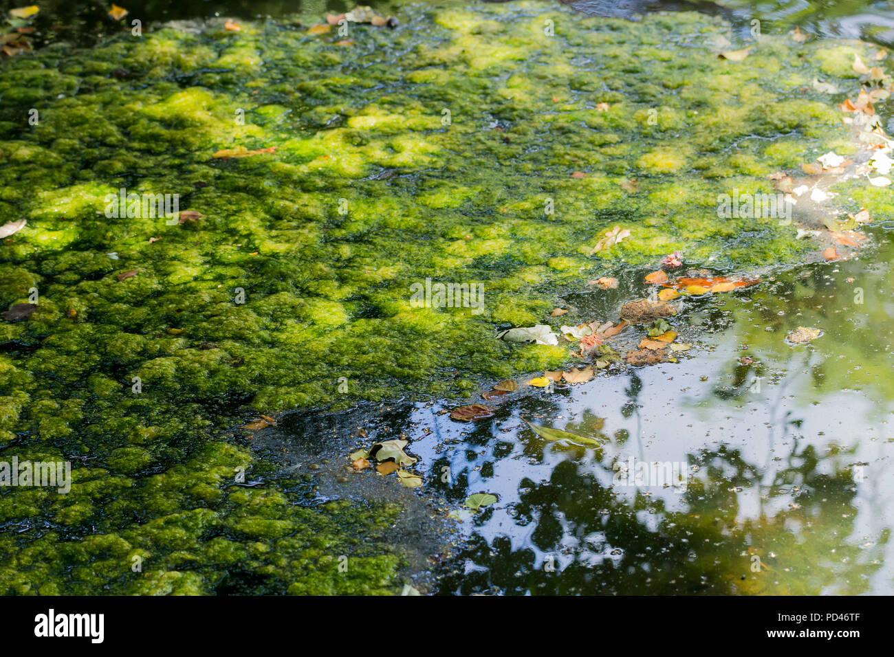 Green algae floating on a lake during the UK heatwave of 2018, Hampshire, England, United Kingdom Stock Photo