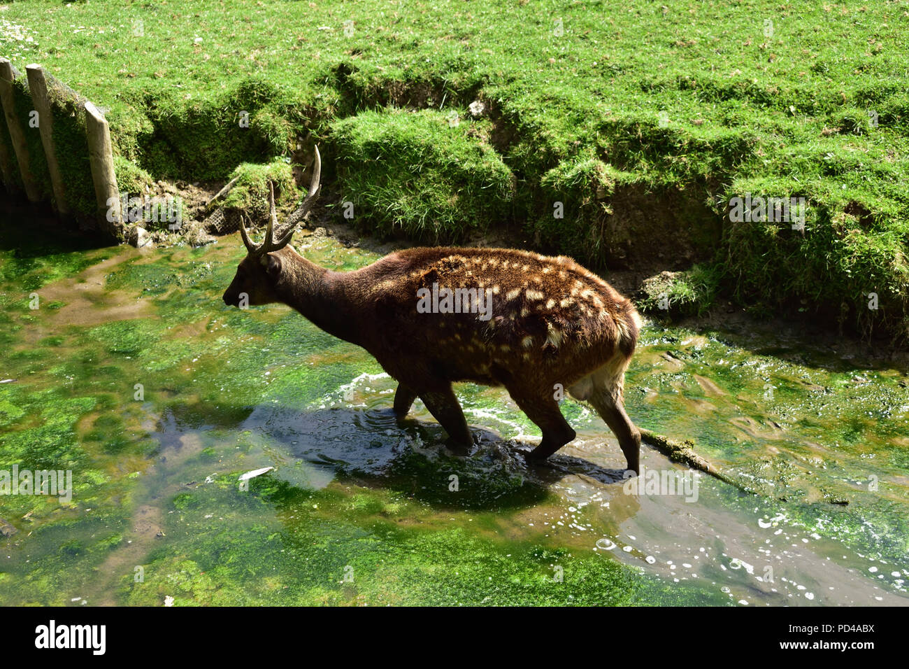Philippine Spotted Deer Stock Photo