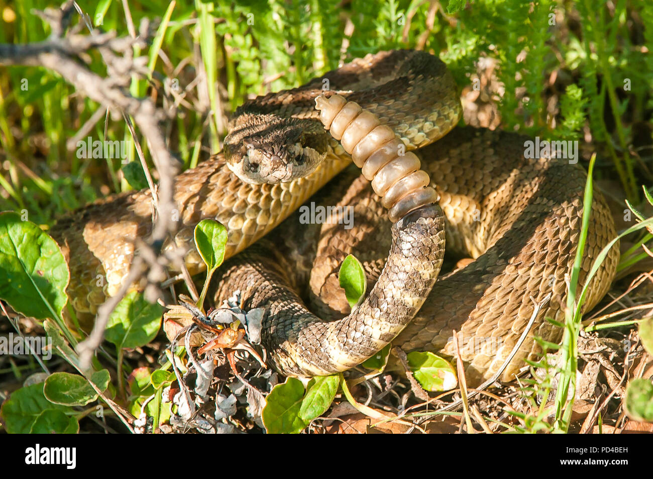 Rattlesnake poised to attack - Stock Image