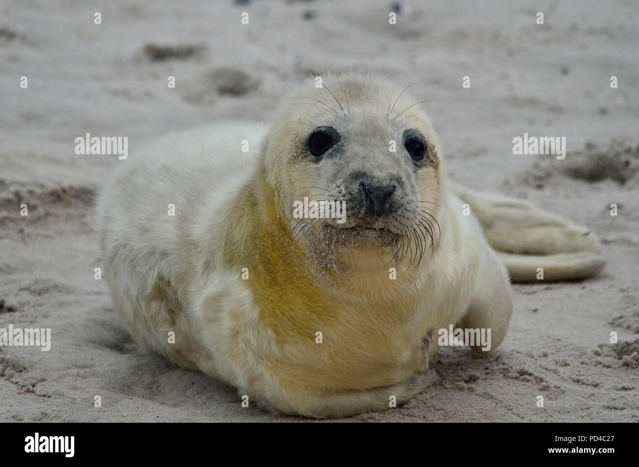 grey seals, Kegelrobbe, Halichoerus grypus, Helgoland, Düne, Nordsee, North Sea, Deutschland, germany - Stock Image