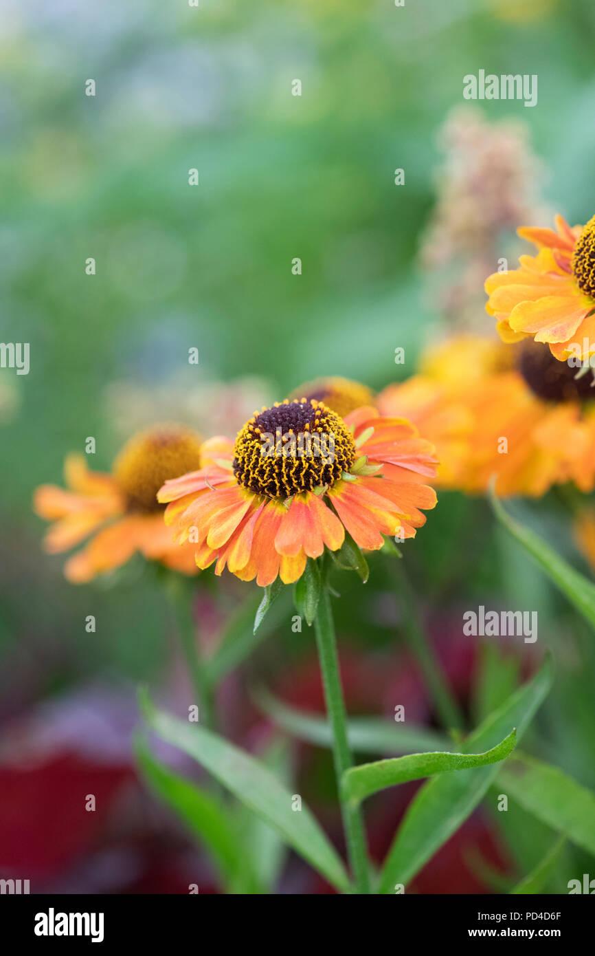 Helenium autumnale 'Short and sassy'. Sneezeweed flowers - Stock Image