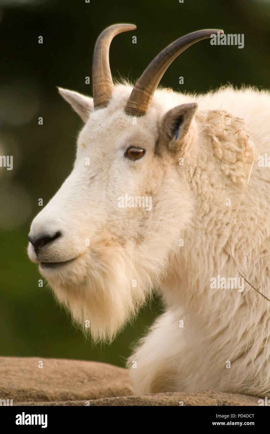 Mountain goat (Oreamnos americanus), Oregon Zoo, Washington Park, Portland, Oregon Stock Photo