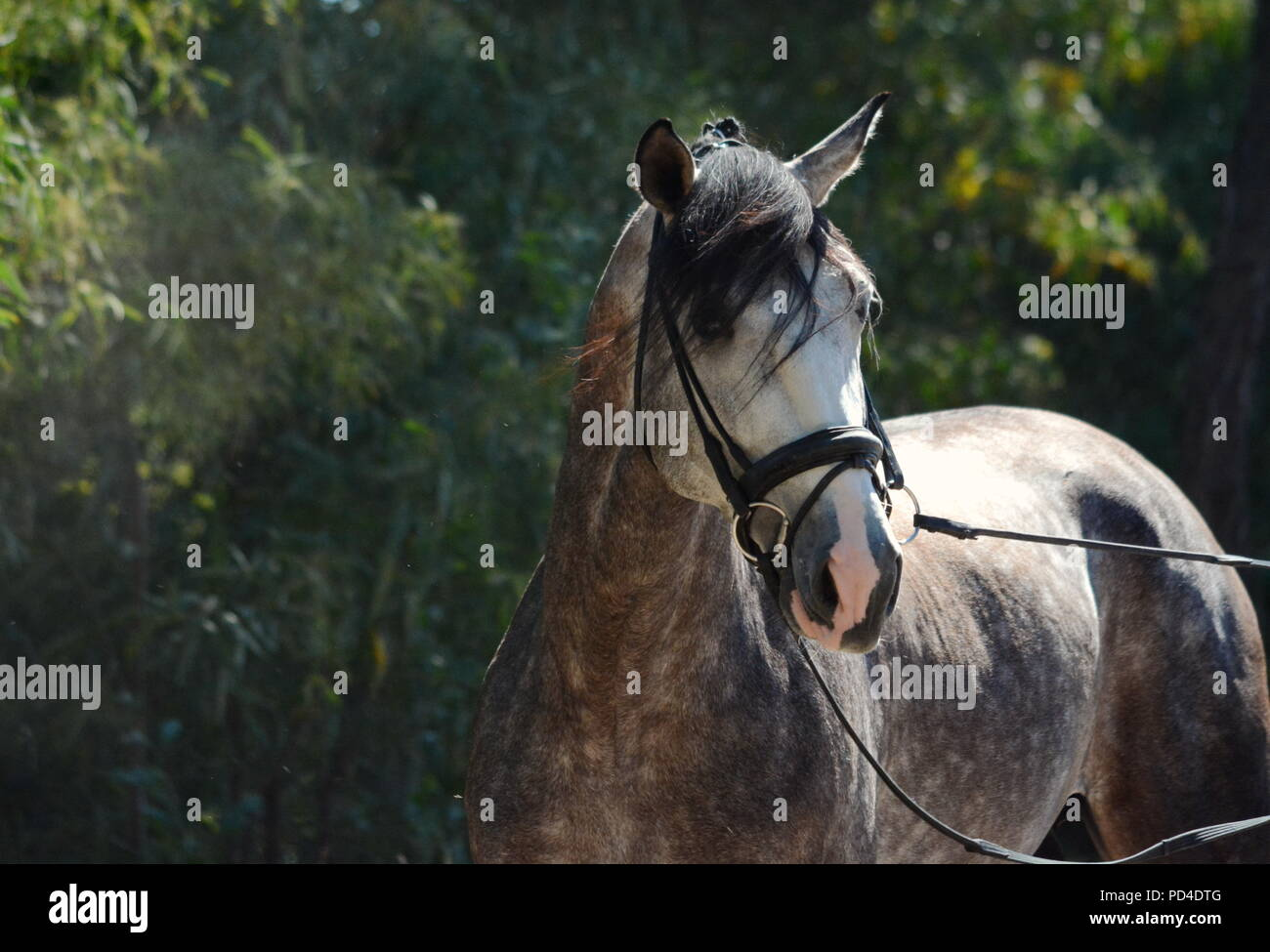 A grey Lusitano horse in bridle with green background - Stock Image