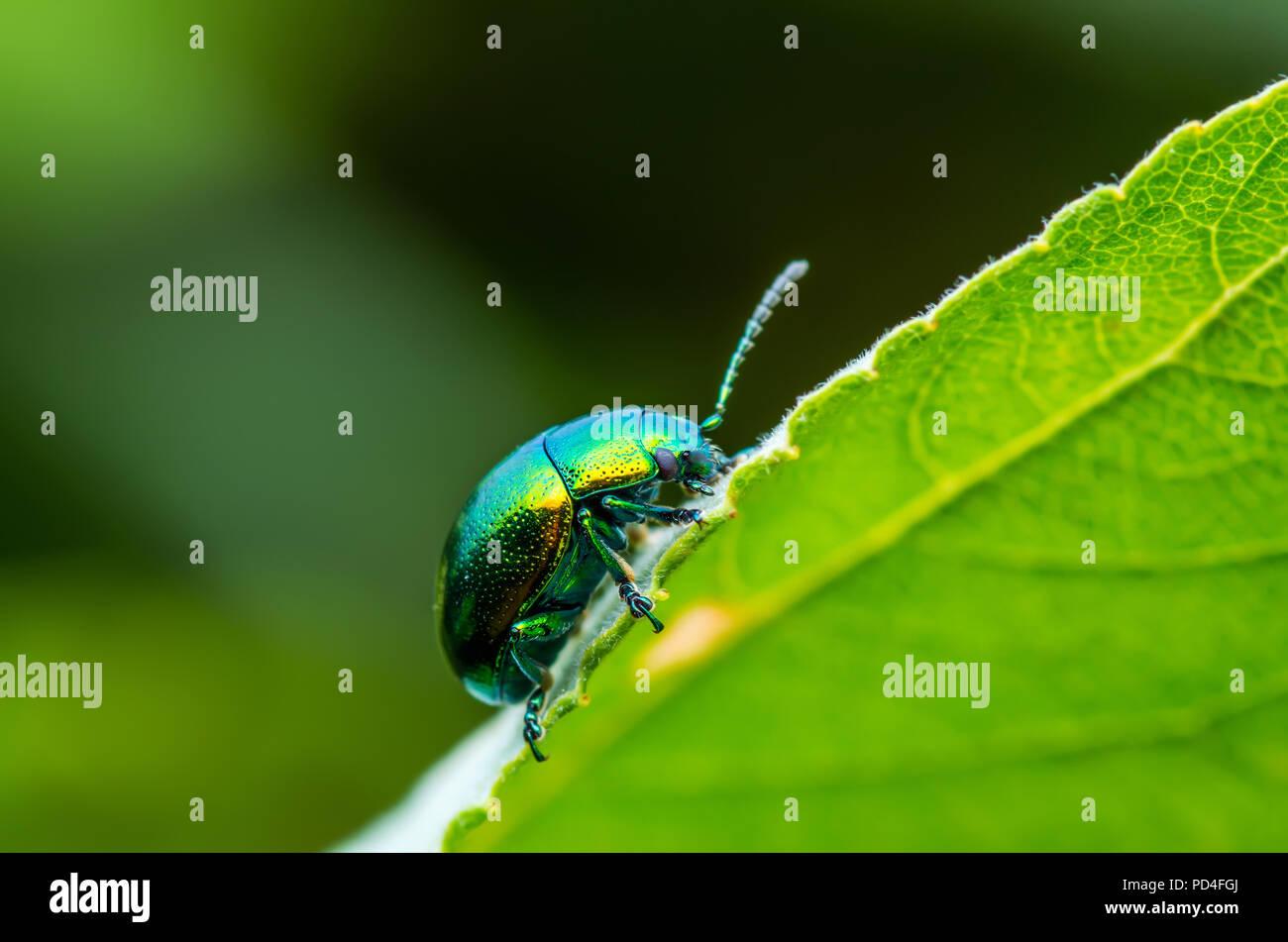 Chrysolina Coerulans Blue Mint Leaf Beetle Insect Crawling on Green Leaf Macro - Stock Image