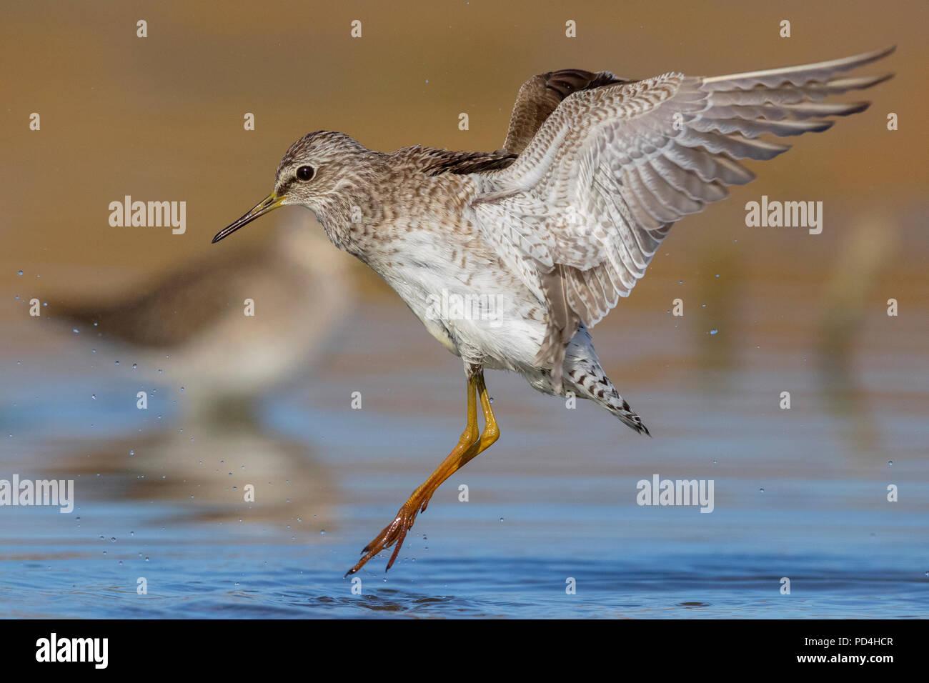 Wood Sandpiper (Tringa glareola), adult in flight - Stock Image