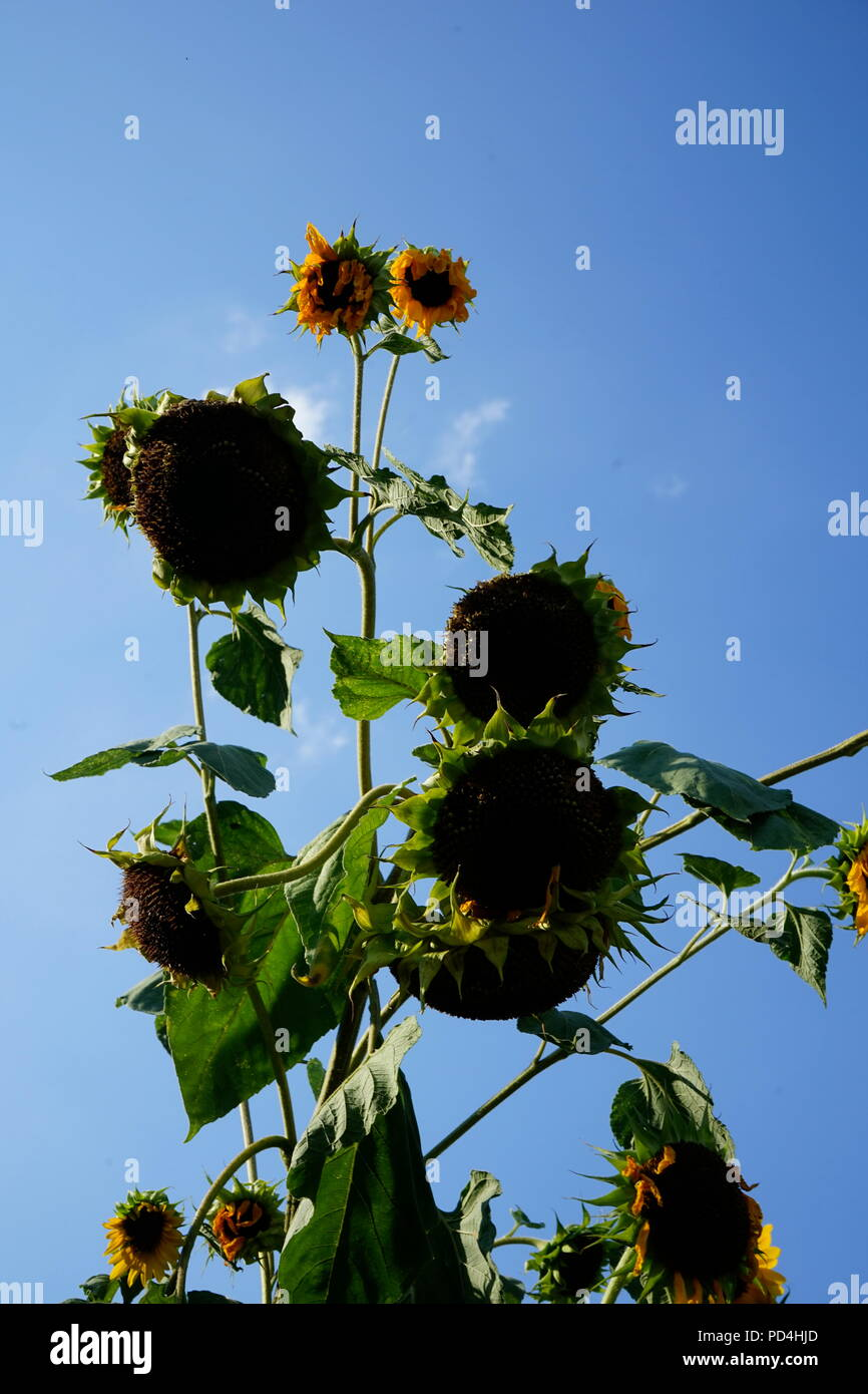 Dried sunflowers in summer heat after weeks of no rain-Global Warming - Stock Image
