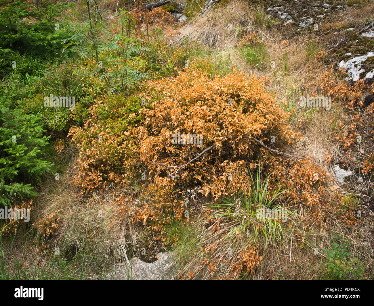 The effects of an extreme dry and hot summer observed easily in the forests around Oslo Norway, dried out and dead European blueberry plants - Stock Image