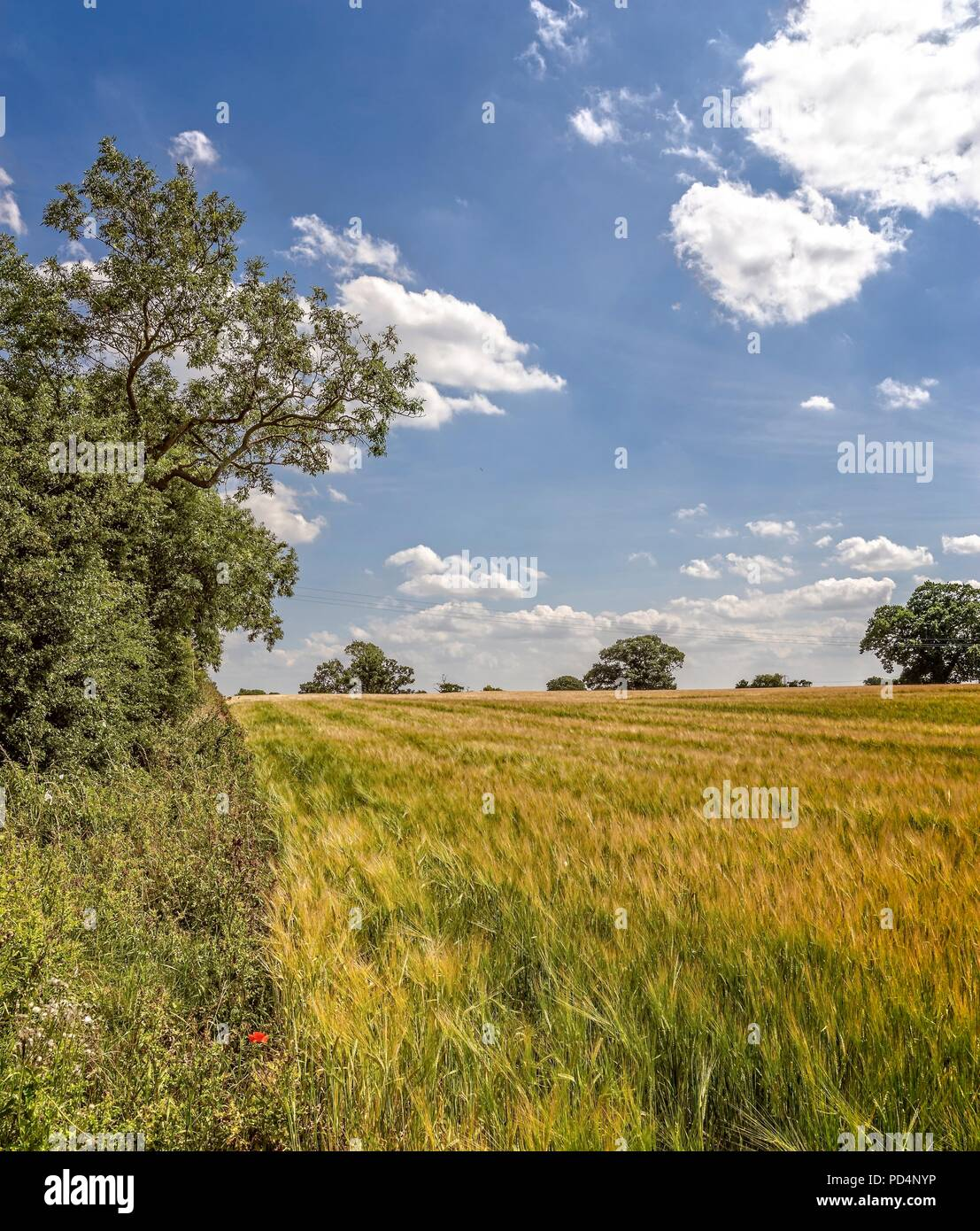 Striped field of ripening crops with trees to one side and in the distance. (Towthorpe, North Yorkshire). - Stock Image