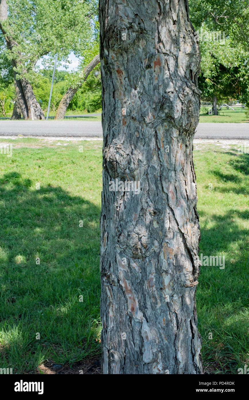 The trunk of a pine tree, Pinus, in the shade. Wichita, Kansas, USA. - Stock Image