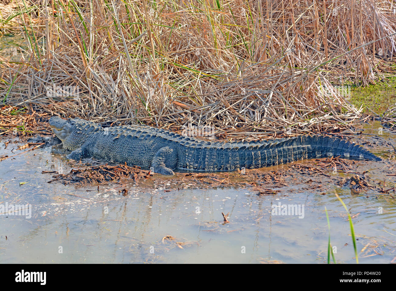 Side View of an American Alligator in a Pond near Port Aransas, Texas - Stock Image