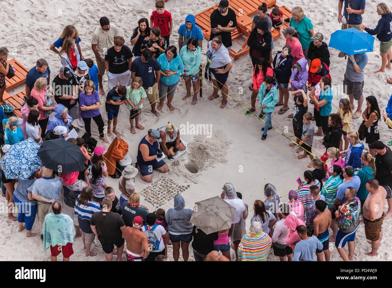 Excavation of Sea Turtle Nest Stock Photo
