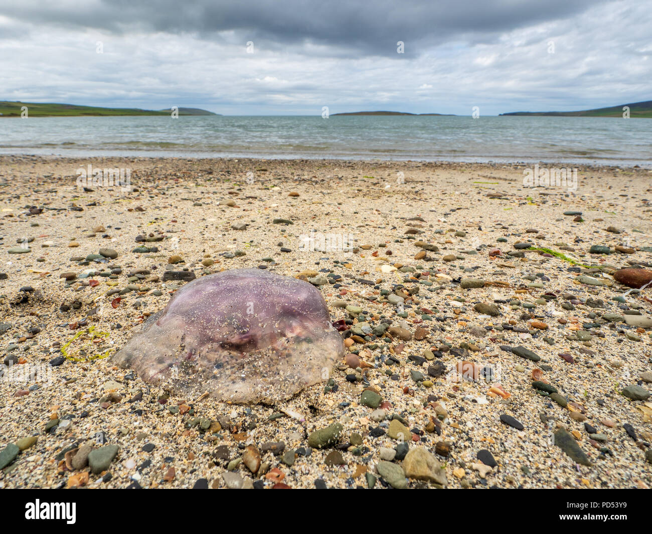 Washed up Jellyfish on Evie Sands, Orkney. - Stock Image