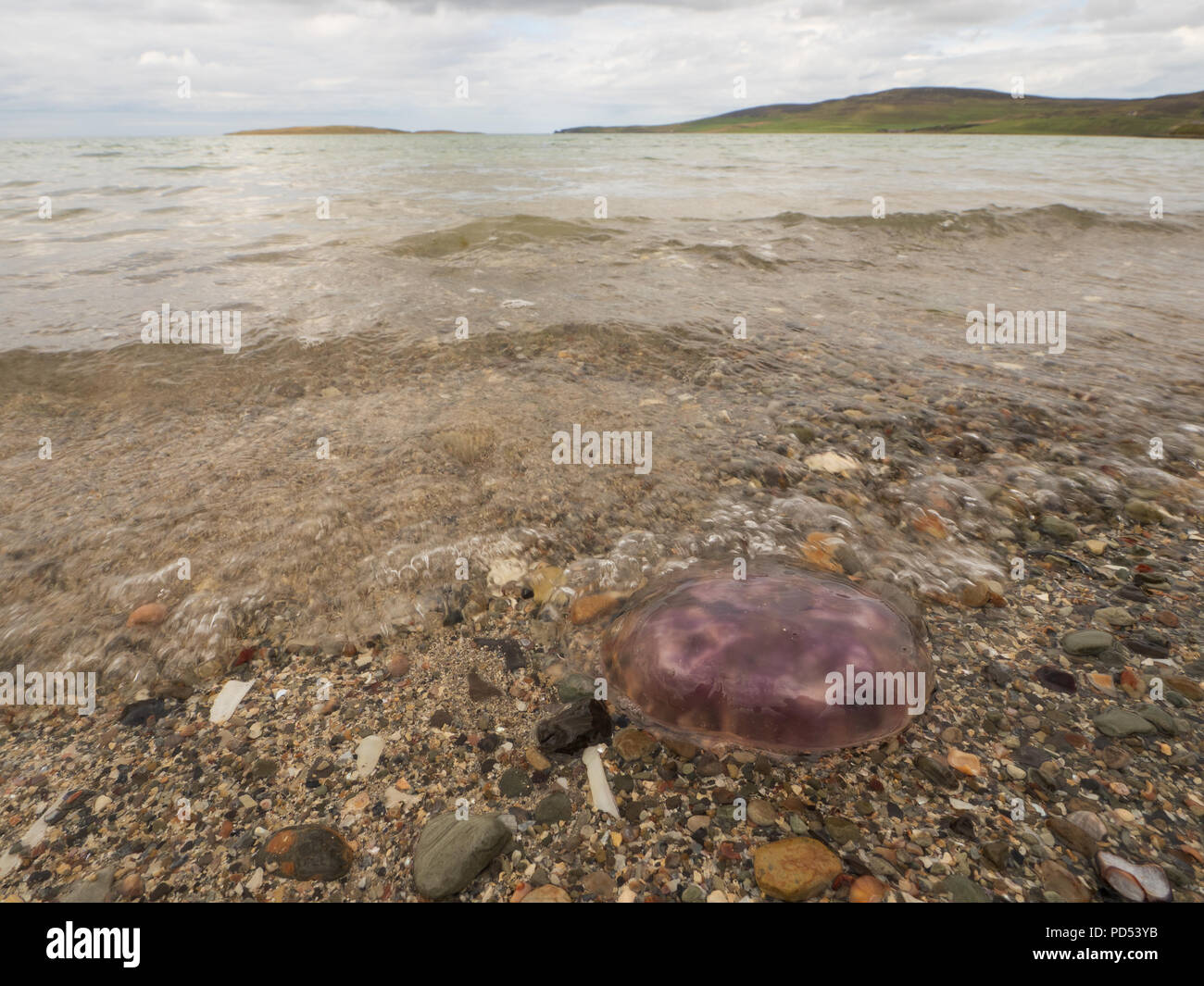 A jellyfish washed up on Evie Sands, Orkney. - Stock Image