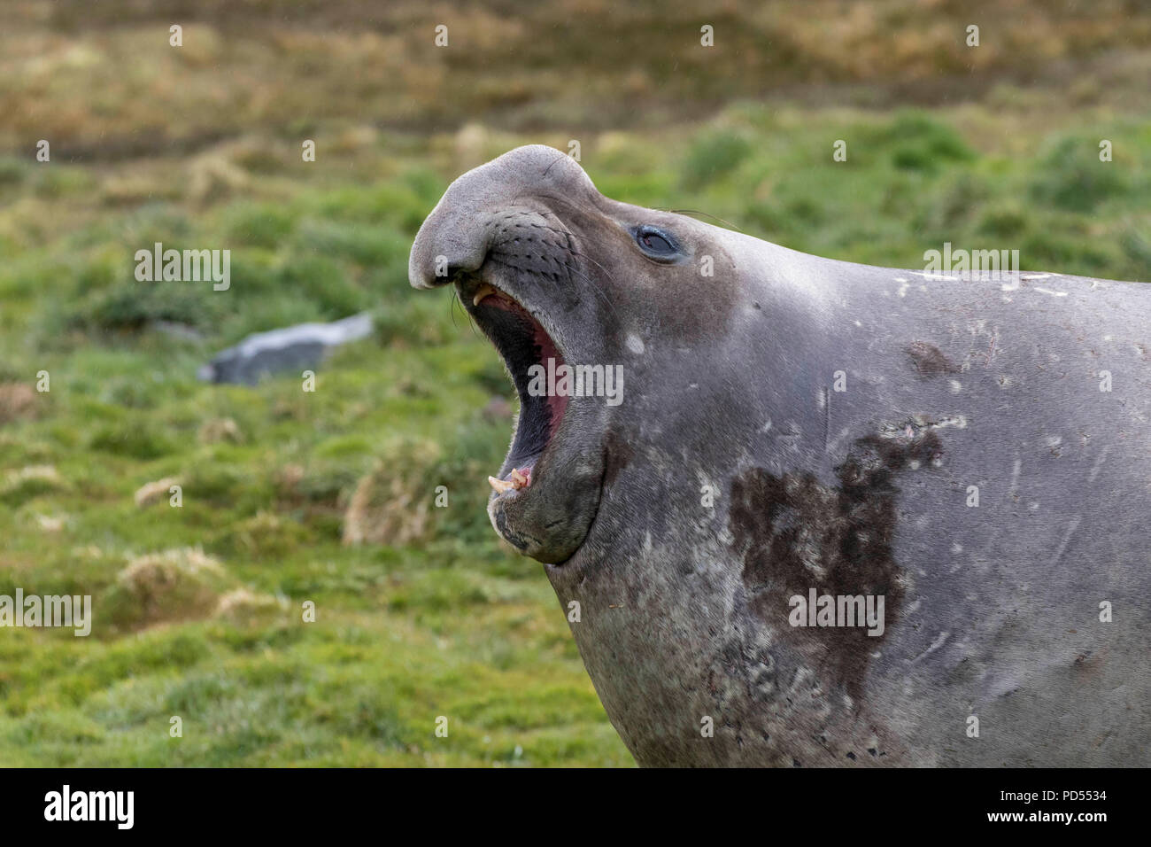 Elephant seal in the South Georgia islands - Stock Image