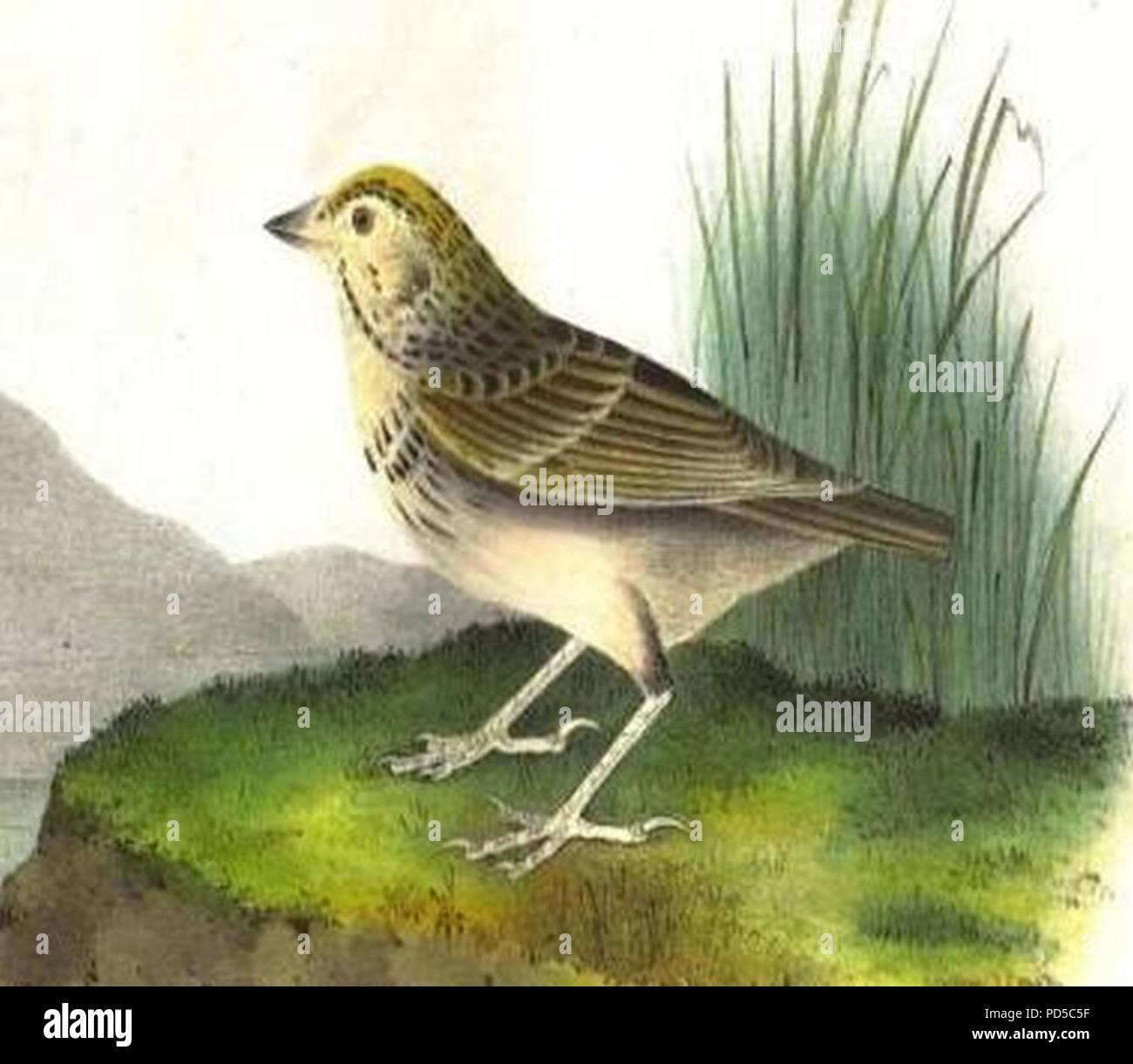 Ammodramus bairdii (Audubon). - Stock Image