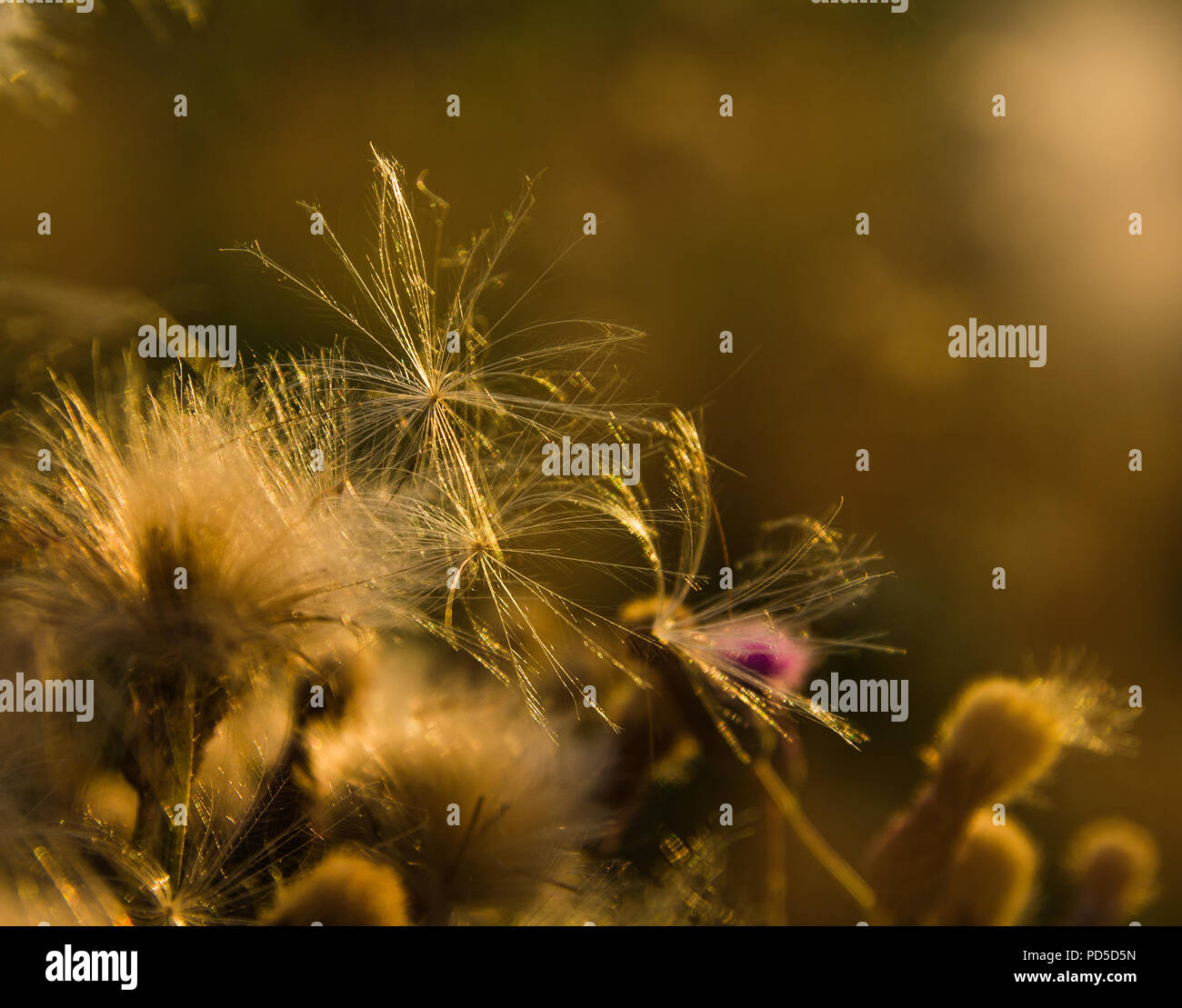 Seeds on thistle flowers - Stock Image