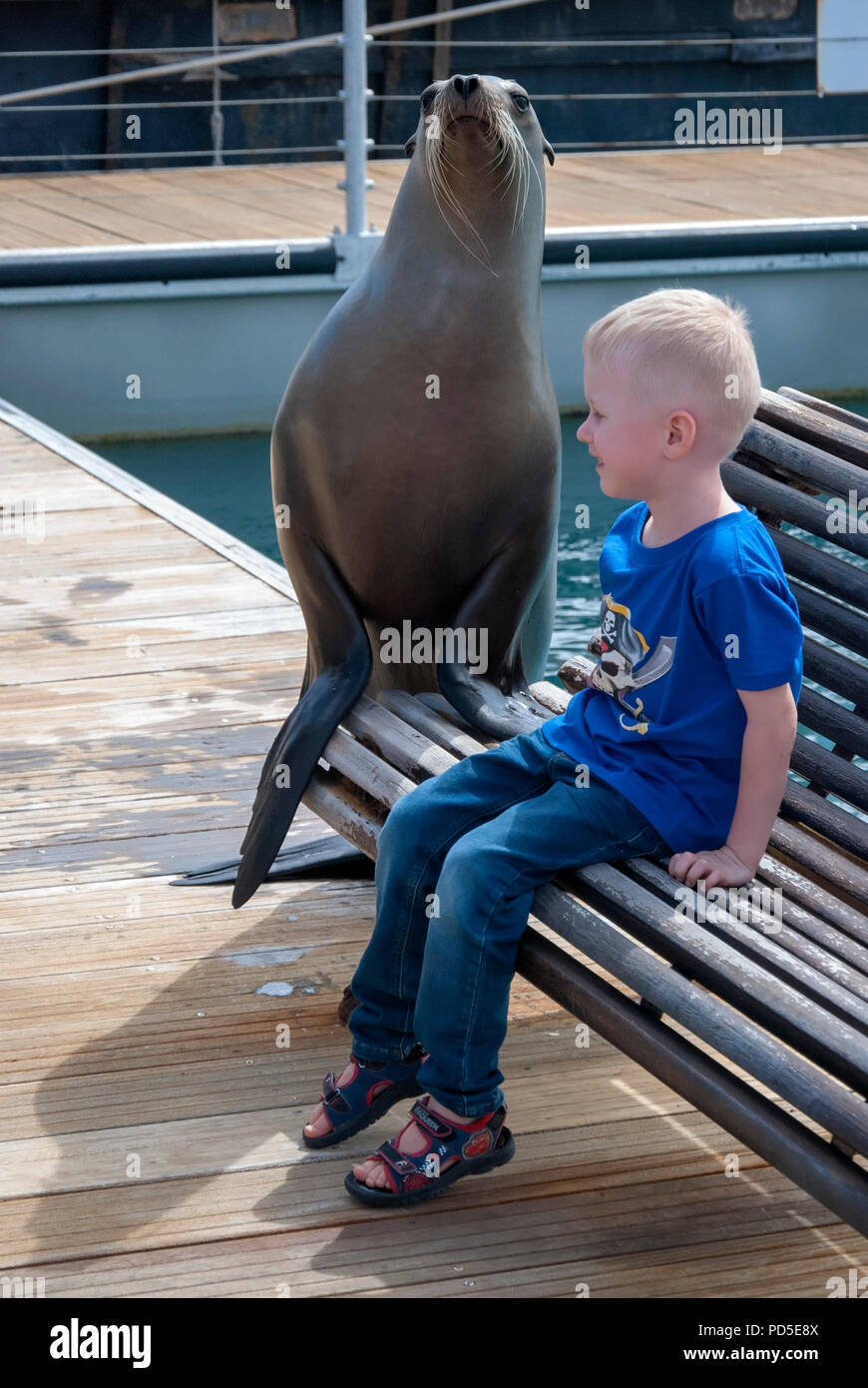 Young Blonde Haired Boy Posing with California Sea Lion male child sitting bench coastal eared seal aquarium caleta de fuste fuerteventura canary isle - Stock Image