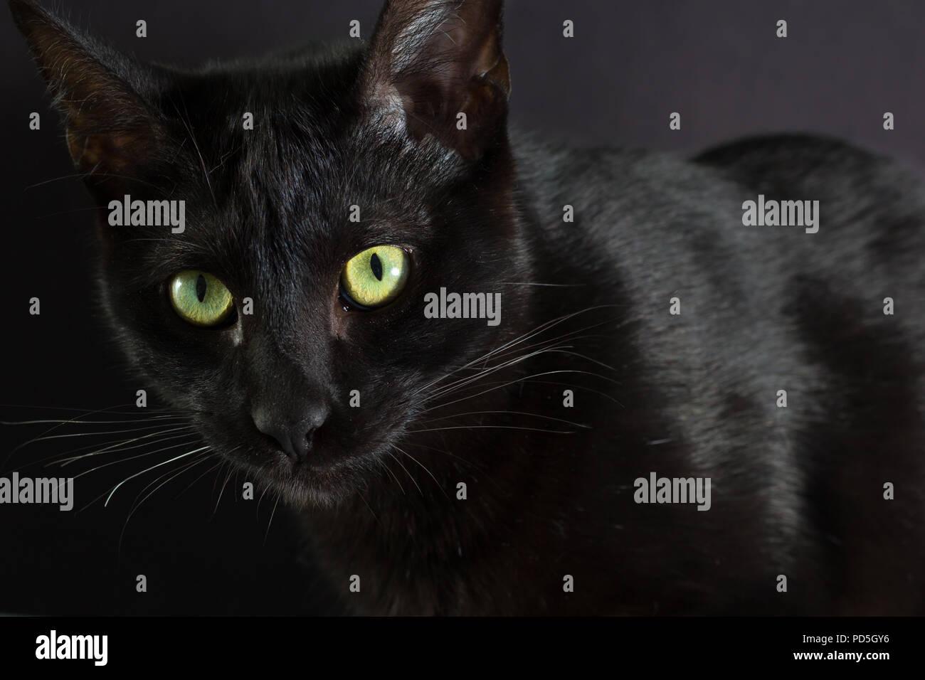 Halloween concept, Black cat. Portrait of Domestic feline in dark shadows - Stock Image
