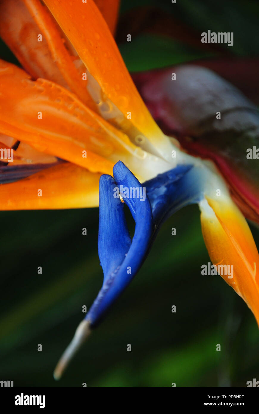 Orange And Blue Bird Of Paradise Tropical Flower Found In