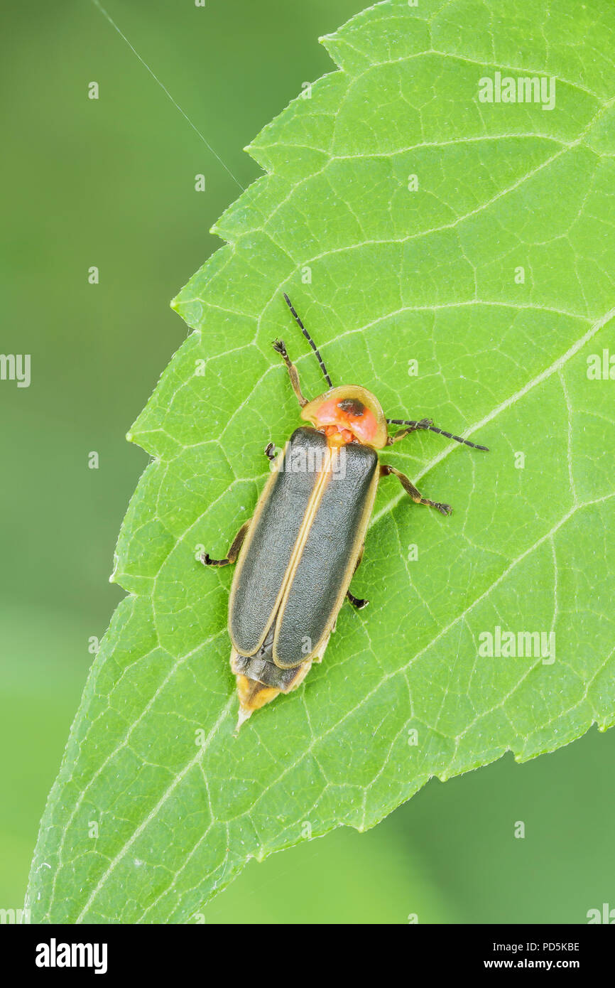 A female Firefly (Photinus sp.) perches on a leaf. - Stock Image