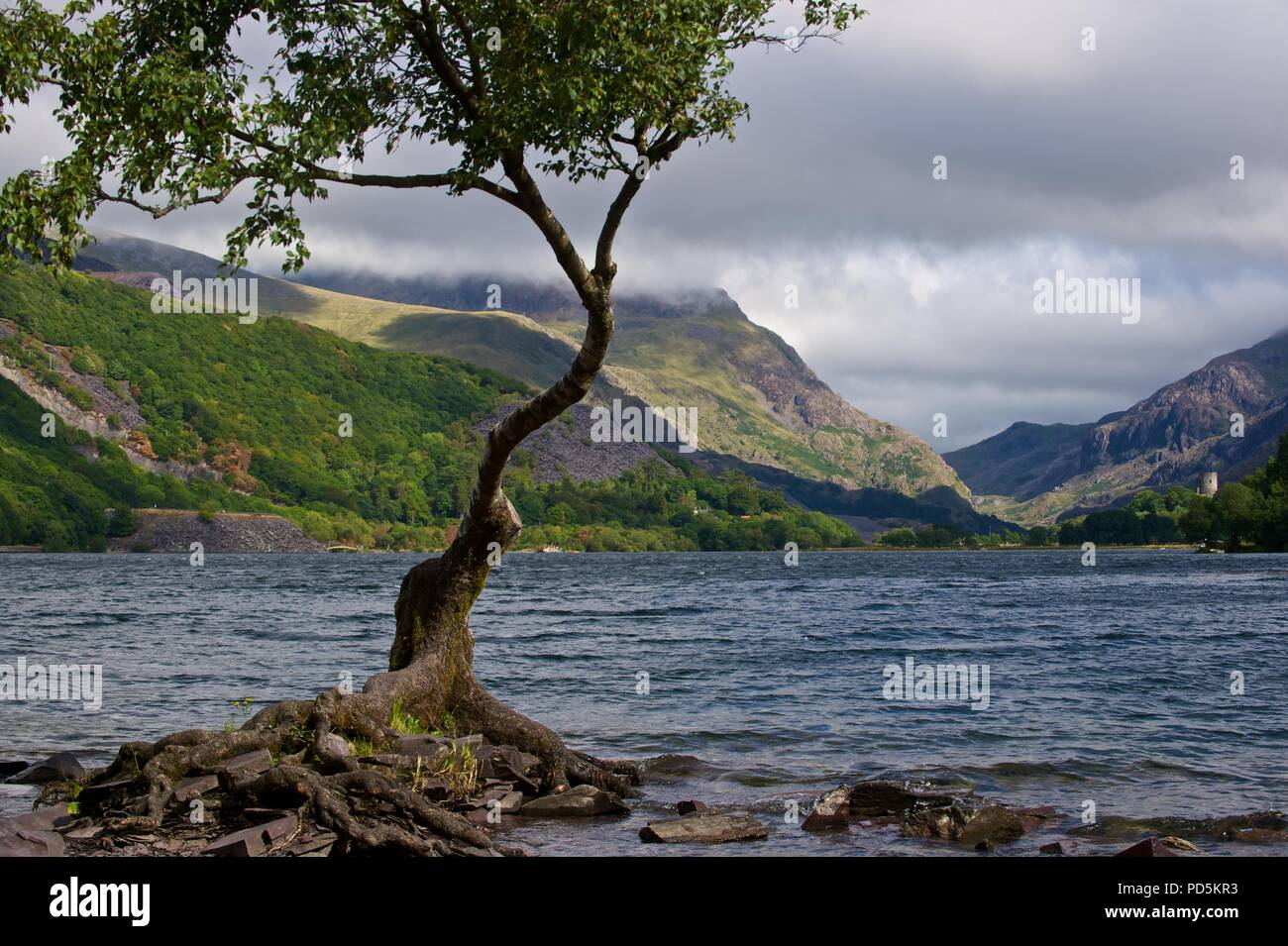 Lonely Tree, Snowdonia, North Wales - Stock Image