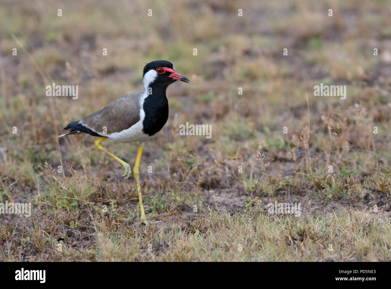 Red-wattled Lapwing - Vanellus indicus, large colored plover from Asian swamps and fresh waters. - Stock Image