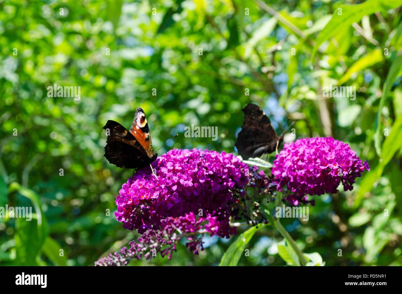 Small tortoiseshell butterflies, Aglais urticae,  on purple buddleia - Stock Image