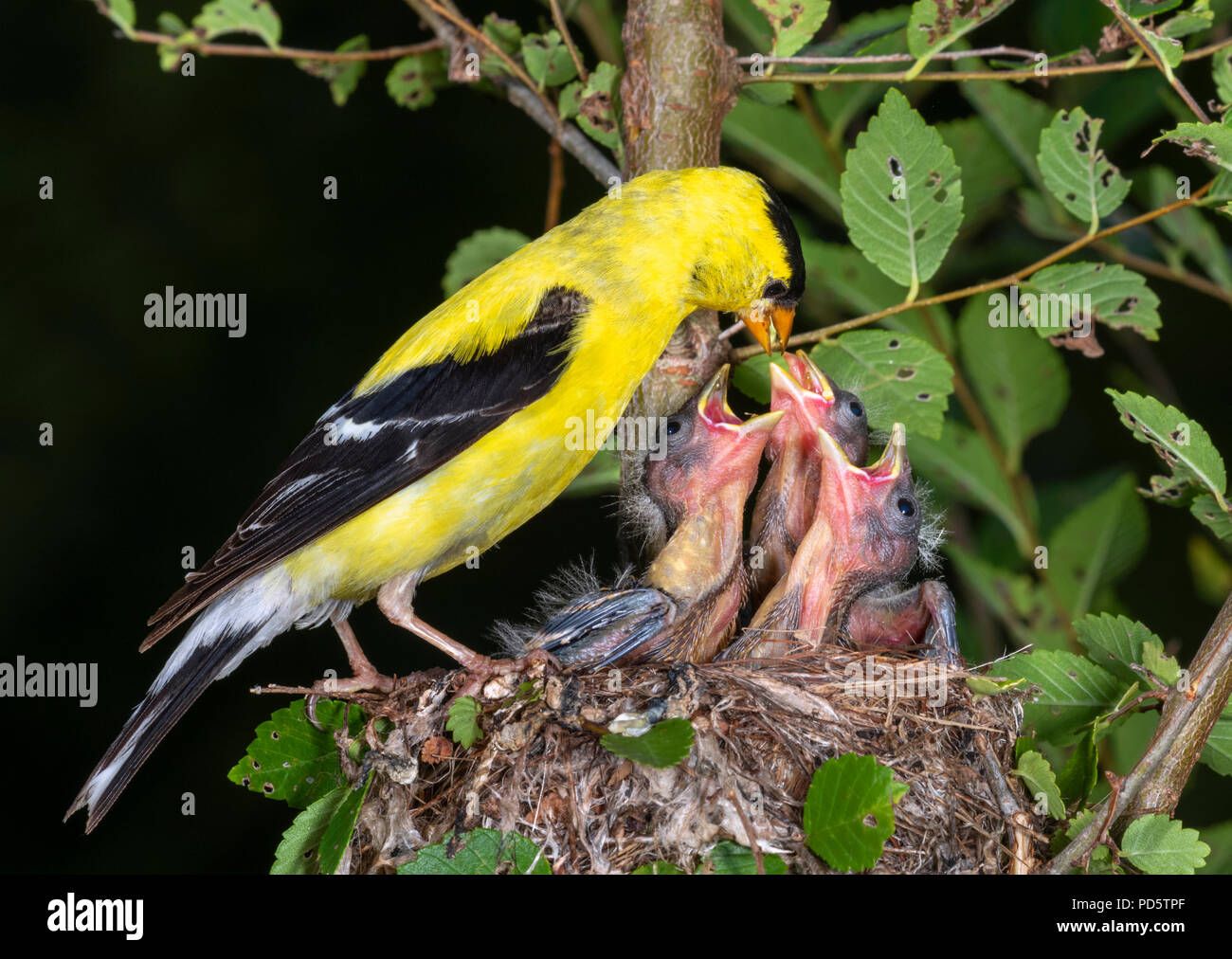 Male American goldfinch (Spinus tristis) feeding nestlings in the nest, Iowa, USA - Stock Image