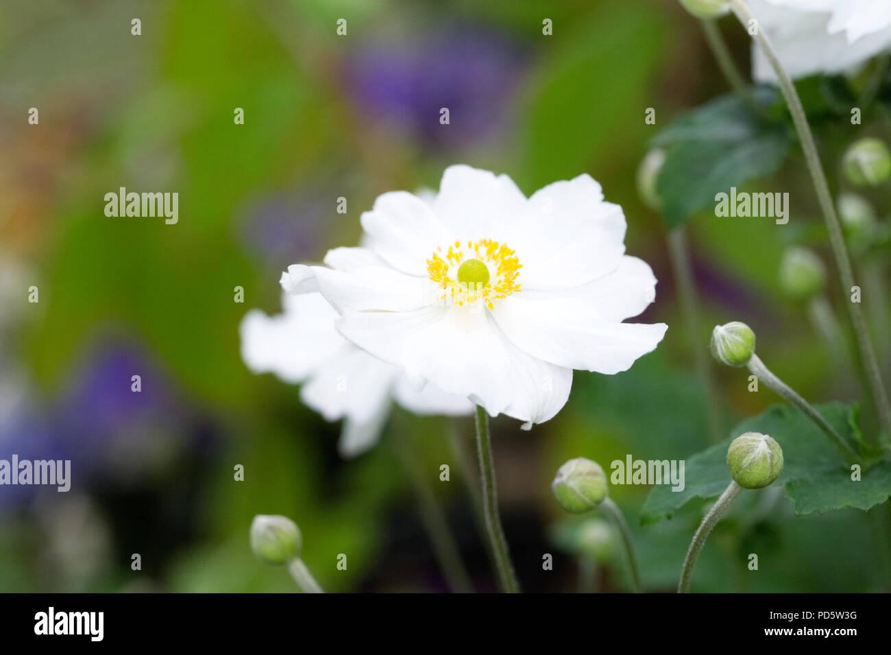 Anemone hupehensis var. japonica. Japanese anemone flower. Stock Photo