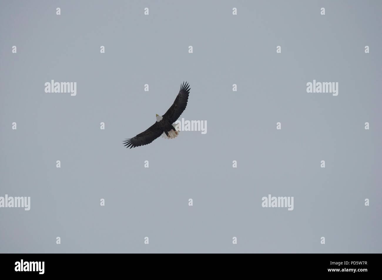 Bald Eagle flying seen from below - Stock Image