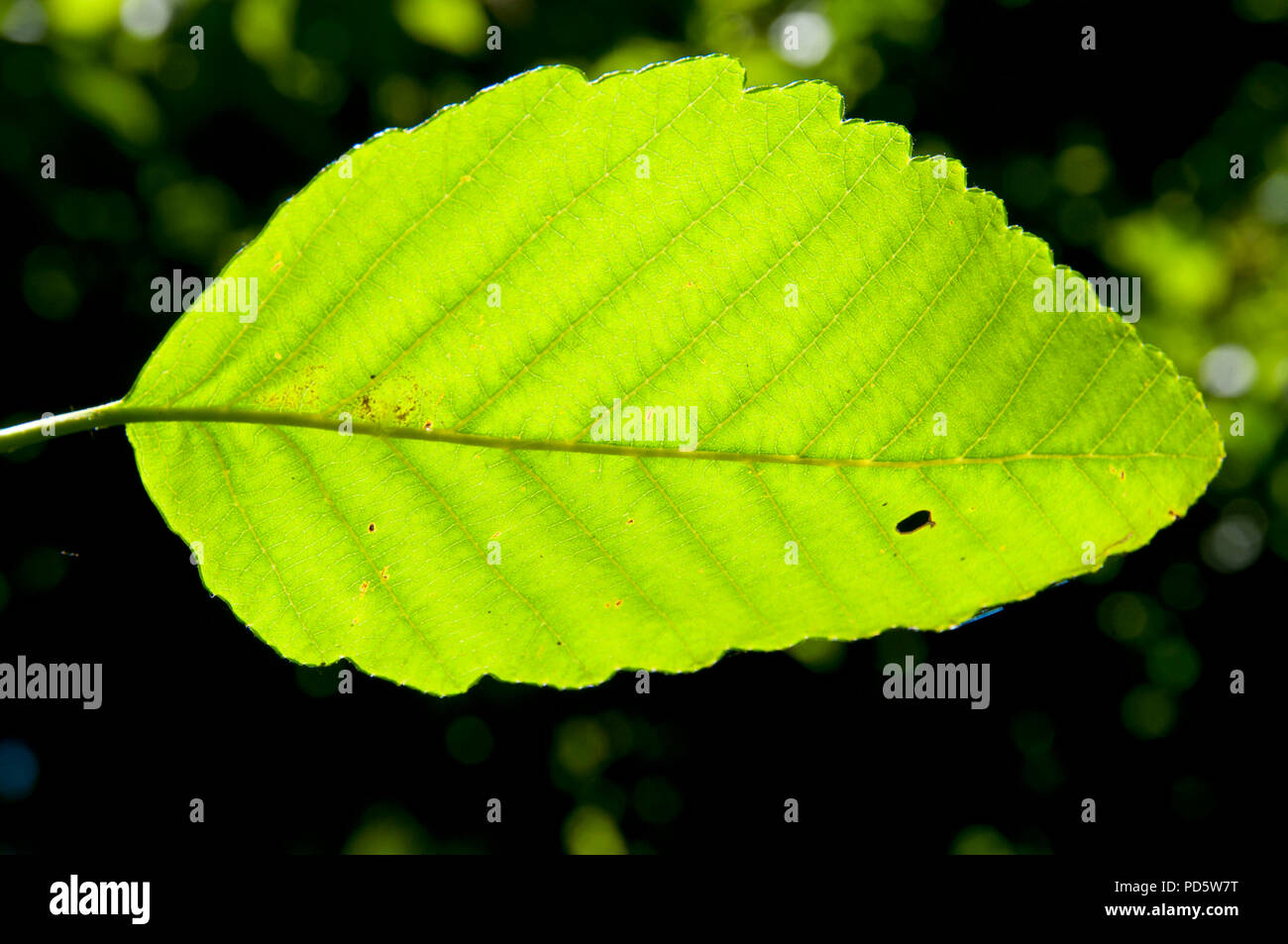 Red alder leaf, Mary S Young State Park, Oregon - Stock Image