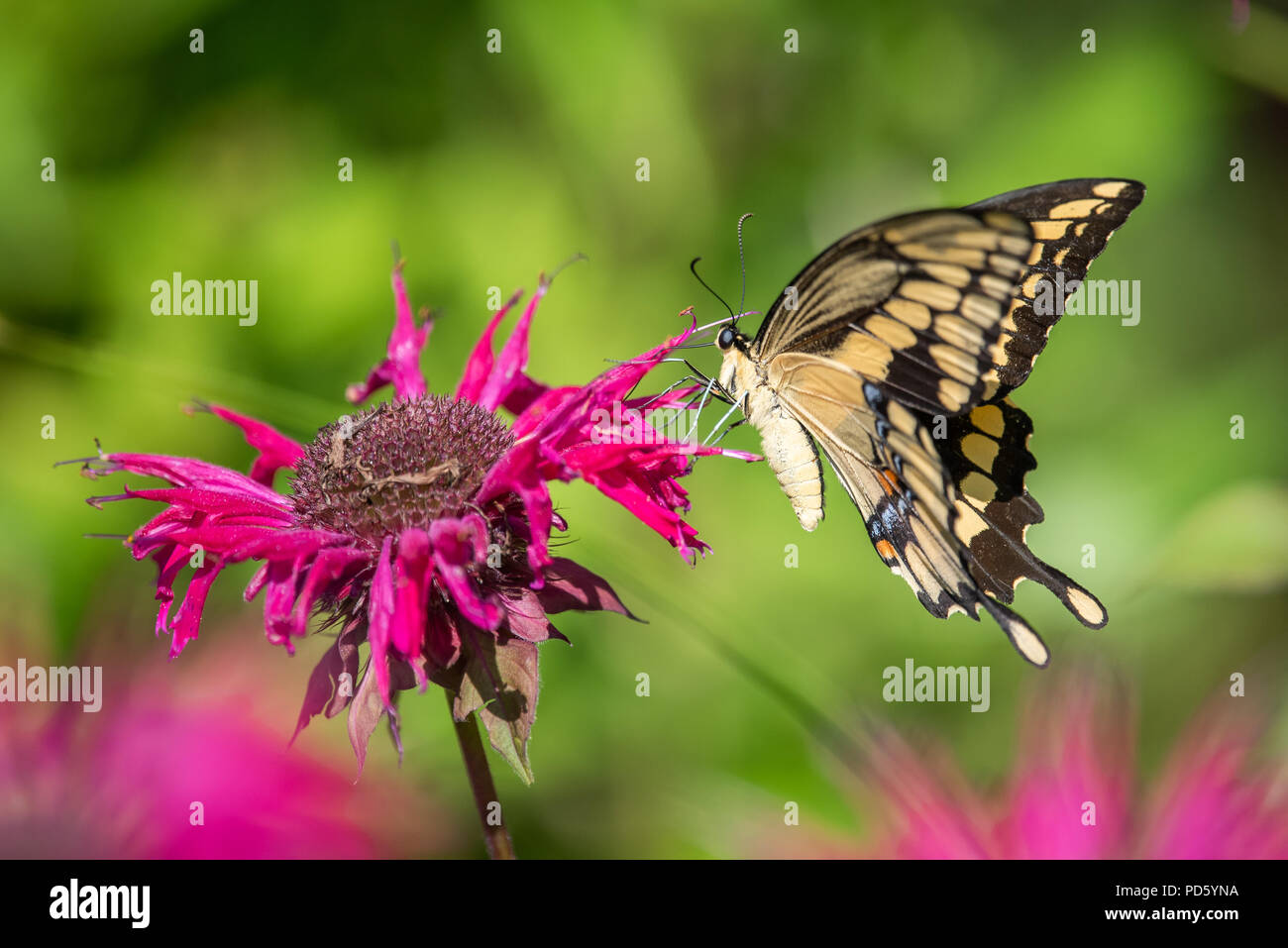Giant swallowtail butterfly (Papilio cresphontes) feeding on red monarda or bee balm flowers in the garden in Speculator, New York NY USA. - Stock Image