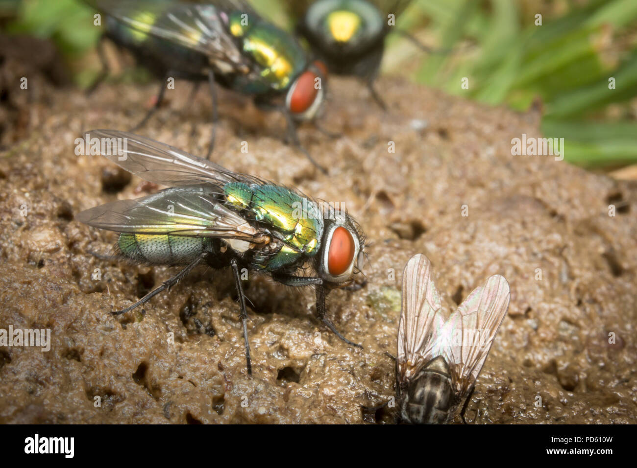 Green bottle flies attracted to fox feaces. - Stock Image