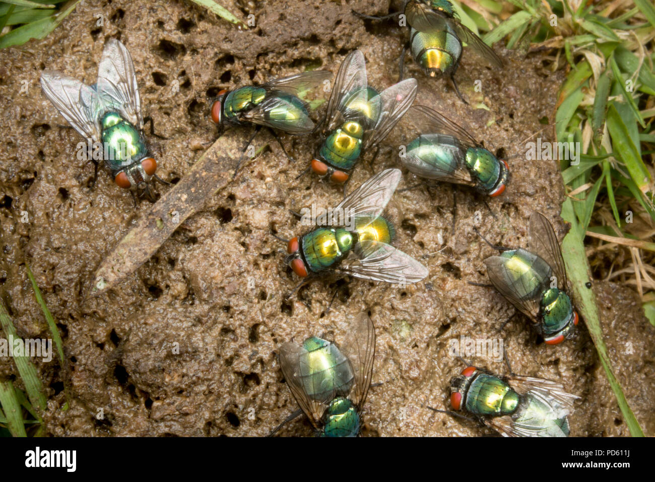 Green-bottle flies attracted to fox feaces. - Stock Image