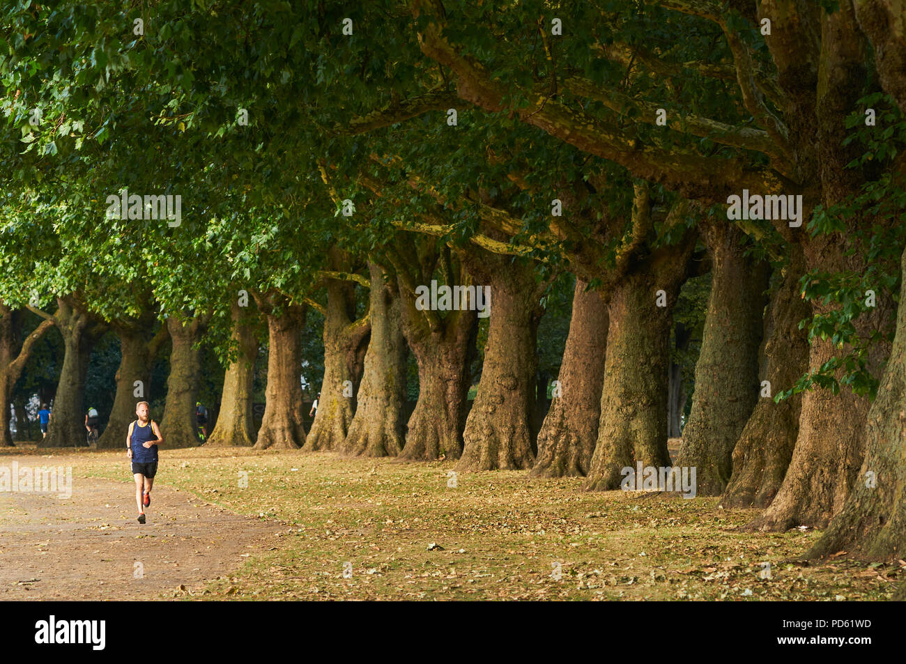 Jogger and row of trees in Victoria Park, East London UK, during the 2018 heatwave, in early August - Stock Image