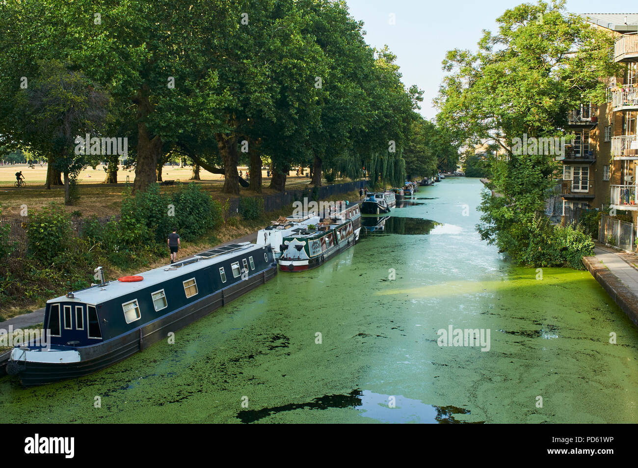 The Hertford Union Canal on the edge of Victoria Park, East London UK, filled with algae, during the summer heatwave of 2018 - Stock Image