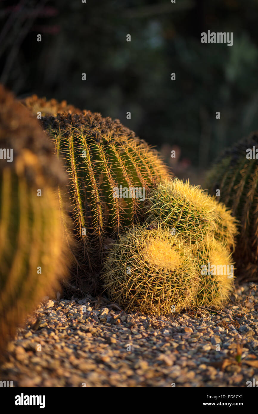 Cacti at golden hour - Stock Image