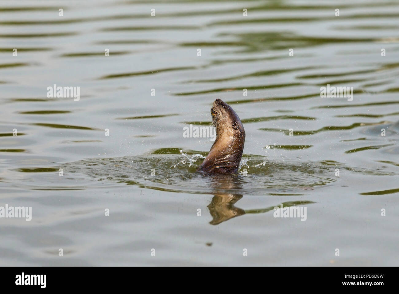 Smooth Coated Otter shakes out water from its fur, Singapore