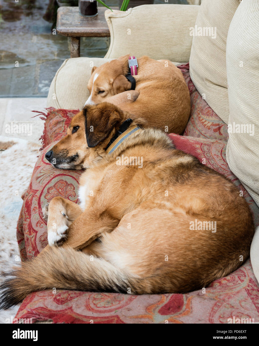 Two dogs curled up on farmhouse sofa - Stock Image
