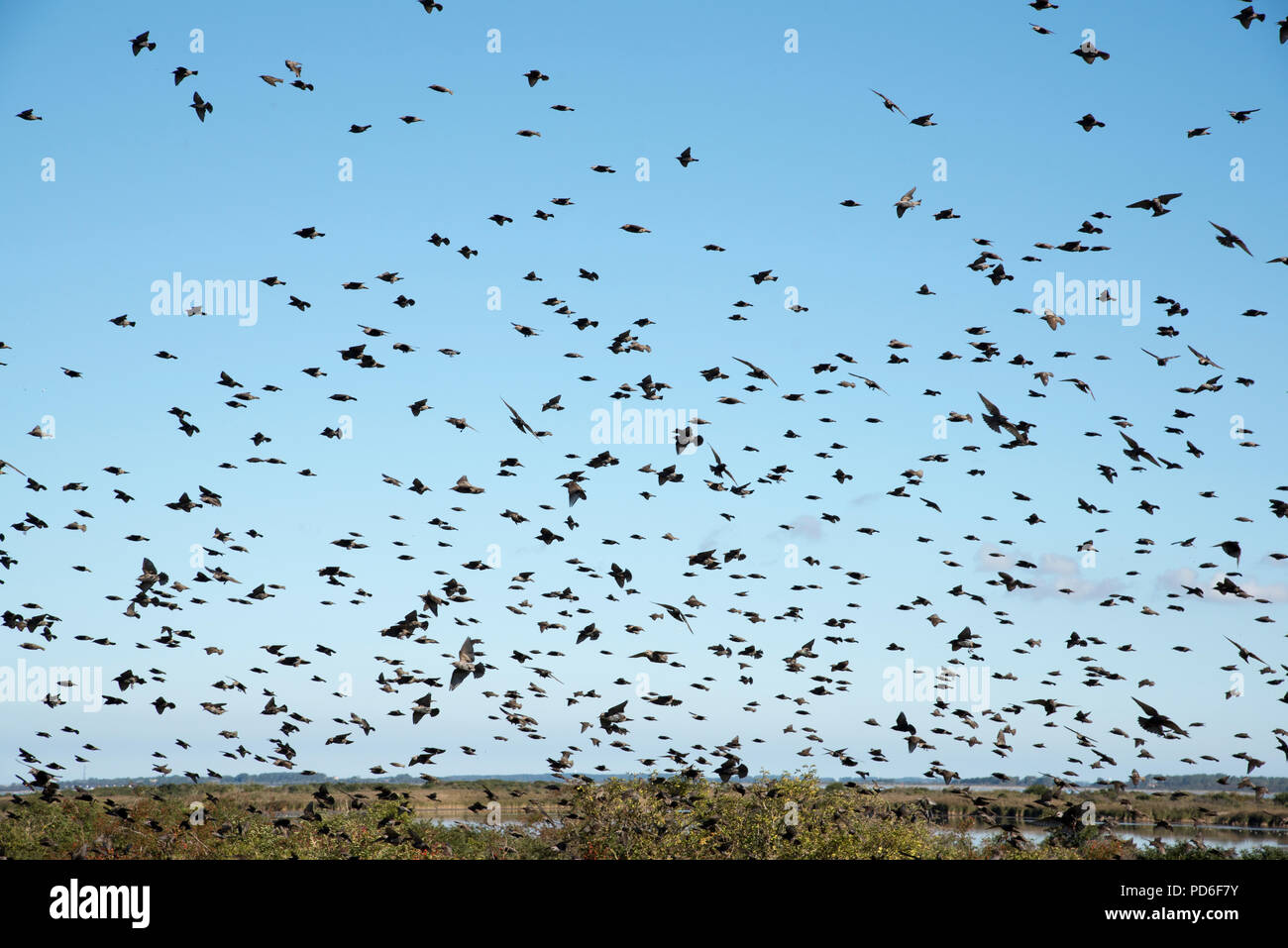 Thousamds of common starlings flocking and feeding at the fruits of common sea buckthorn at the tip of Alter Bessin on Germany's Hiddensee island. Stock Photo
