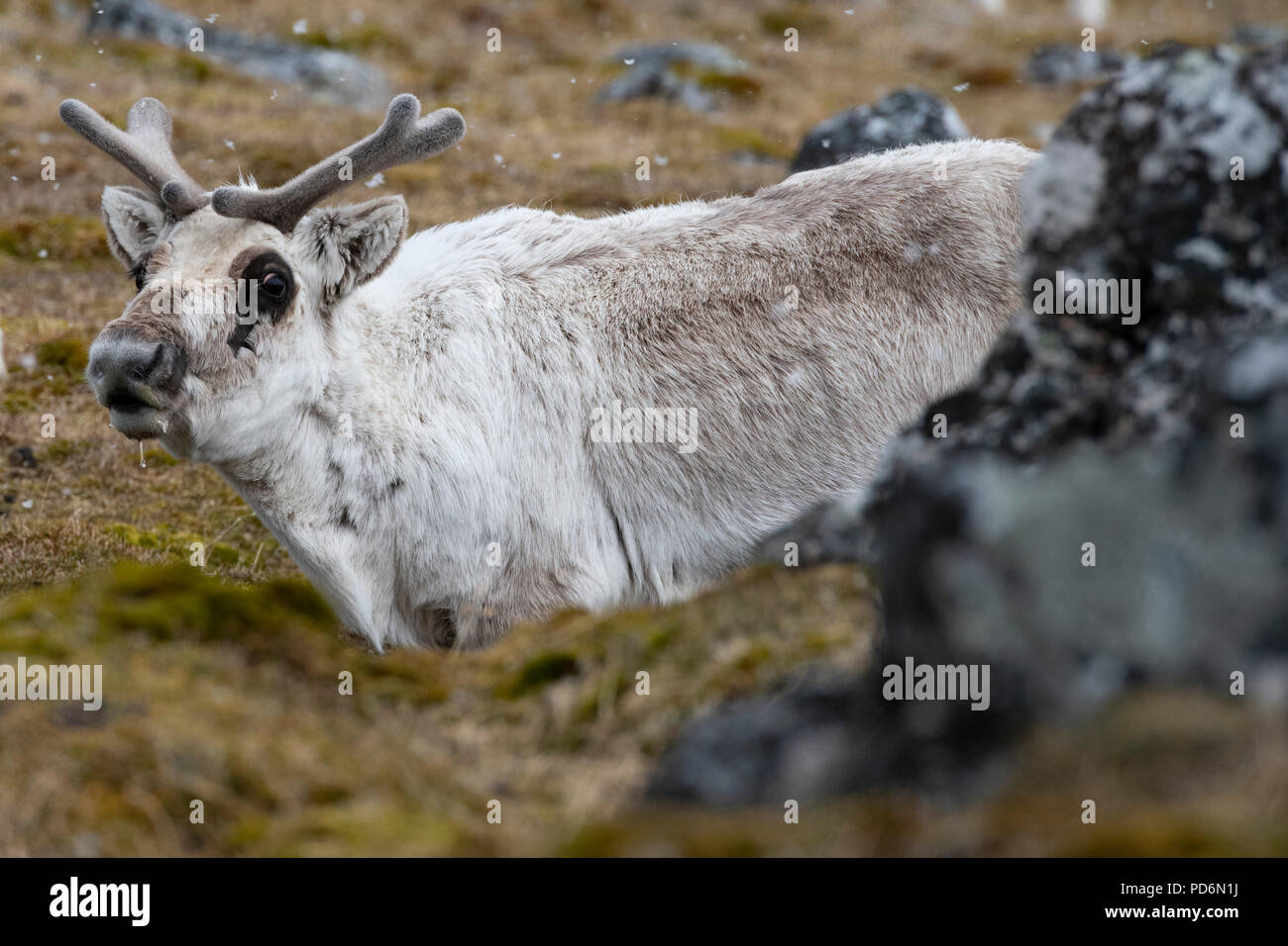 Norway, Svalbard, Spitsbergen. Svalbard reindeer (Rangifer tarandus platyrhynchus) in snow. Stock Photo