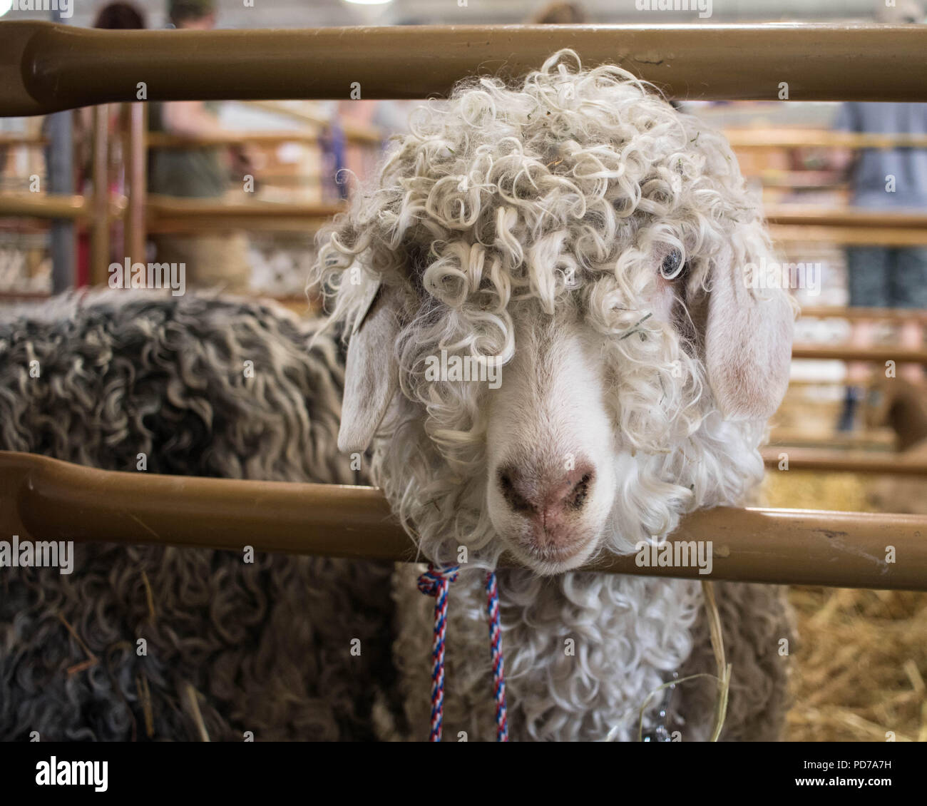 A white sheep waits for auction at the Deschutes County Fair, Redmond, Oregon. - Stock Image