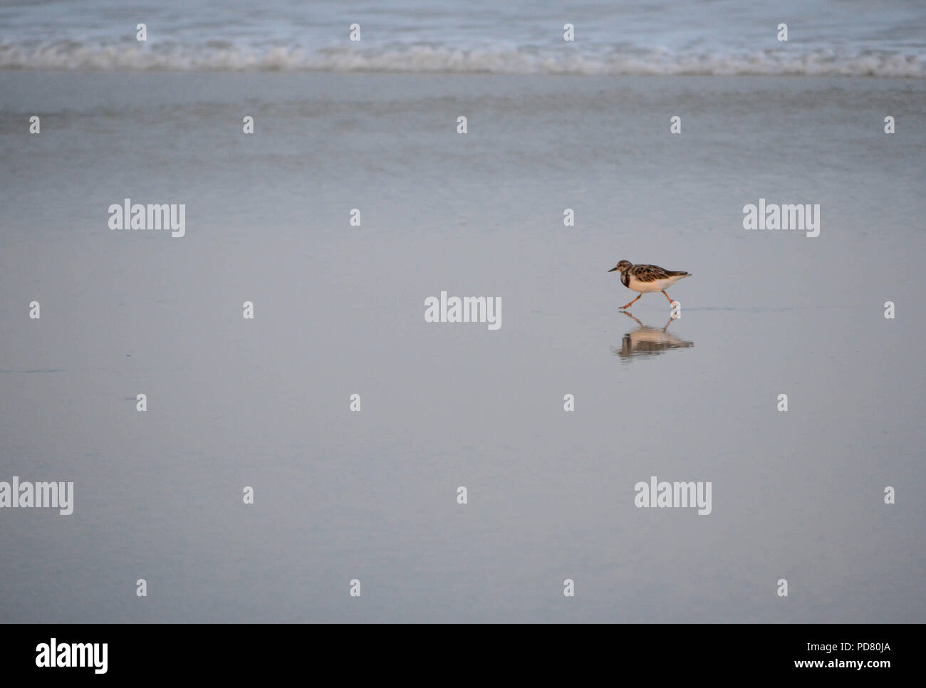 One Sandpiper Shows Reflection On Wet Sand As He Runs On East Coast Beach in Florida Near Waterline - Stock Image
