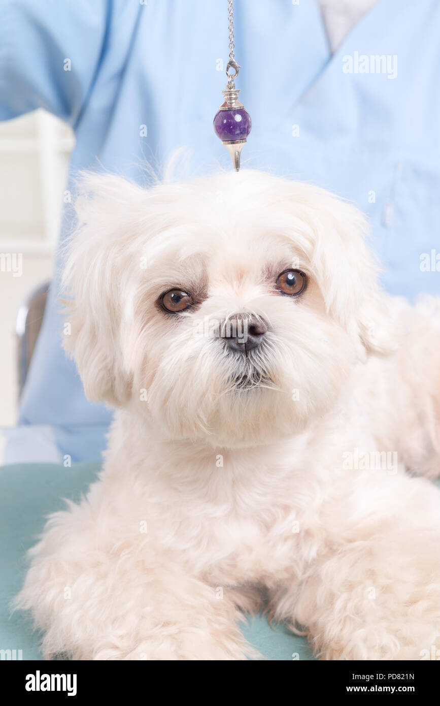 Alternative medicine therapist or vet using pendulum to check dog's health - Stock Image