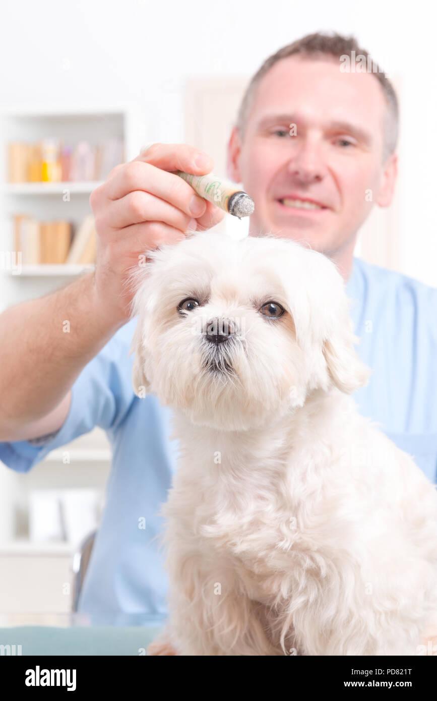 Vet doing moxa treatment on little dog - Stock Image