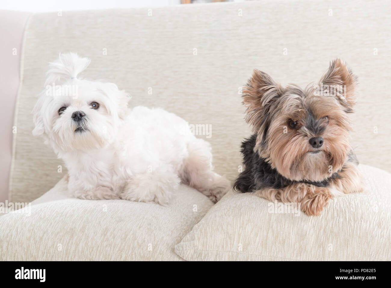 Two cute dogs white maltese and yorkshire terrier on a sofa at home ...