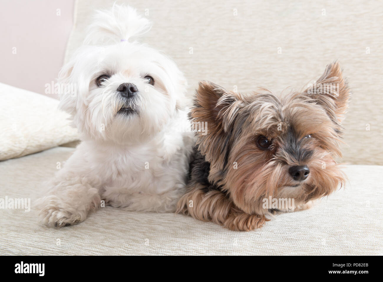 Two cute dogs white maltese and yorkshire terrier on a sofa at home - Stock Image